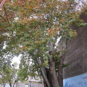چنار میدان آزادی