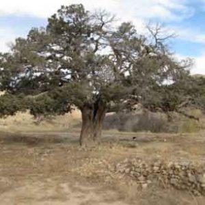 درخت ارس کهنسال اسطرخی